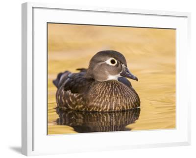 A Female Wood Duck (Aix Sponsa) on a Small Pond in Southern California.-Neil Losin-Framed Photographic Print