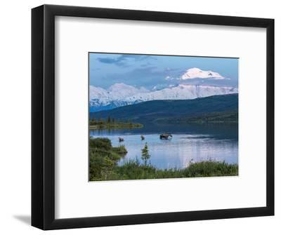 A Mother Moose Feeding in Wonder Lake-Howard Newcomb-Framed Photographic Print