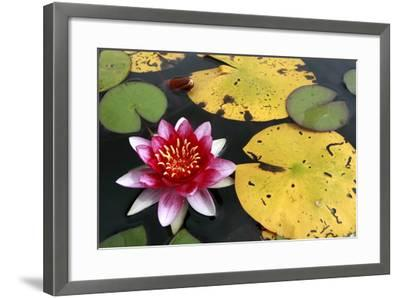 Water Lily-Tobias Hase-Framed Photographic Print