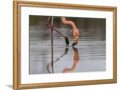 Flamingo Eating in the Galapagos Islands, Ecuador-Karine Aigner-Framed Photographic Print