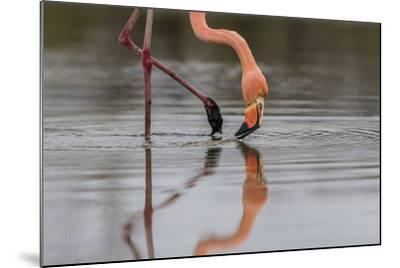 Flamingo Eating in the Galapagos Islands, Ecuador-Karine Aigner-Mounted Photographic Print