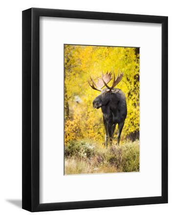 A Bull Moose with Wet Fur Walks from Fall Cottonwood Trees in Grand Teton National Park, Wyoming-Mike Cavaroc-Framed Photographic Print