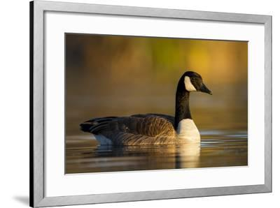 A Canada Goose on a Lake in Southern California-Neil Losin-Framed Photographic Print