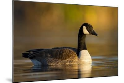A Canada Goose on a Lake in Southern California-Neil Losin-Mounted Photographic Print