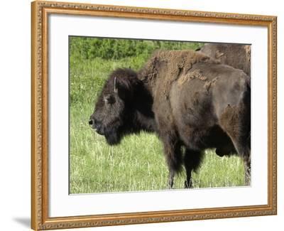 Buffalo Cow on the Grasslands of Custer State Park, Black Hills, South Dakota--Framed Photographic Print