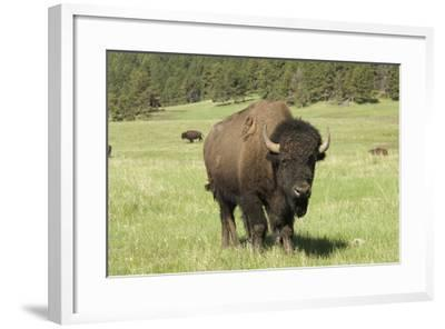 Free-Ranging Bison Bull on the Grasslands of Custer State Park in the Black Hills, South Dakota--Framed Photographic Print