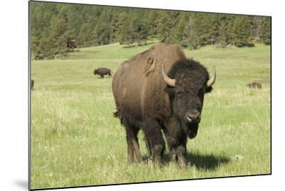 Free-Ranging Bison Bull on the Grasslands of Custer State Park in the Black Hills, South Dakota--Mounted Photographic Print