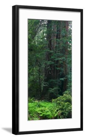 Old Growth Coast Redwood, Muir Woods National Monument, San Francisco Bay Area-Anna Miller-Framed Photographic Print