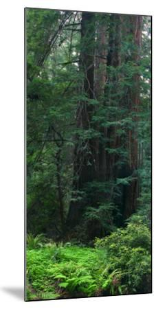 Old Growth Coast Redwood, Muir Woods National Monument, San Francisco Bay Area-Anna Miller-Mounted Photographic Print