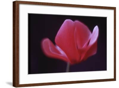 Red Cyclamen Abstract-Anna Miller-Framed Photographic Print