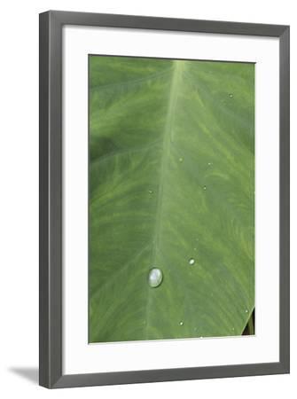 Elephant Ear Leaf (Alocasia) Closeup with Dew Drops-Anna Miller-Framed Photographic Print
