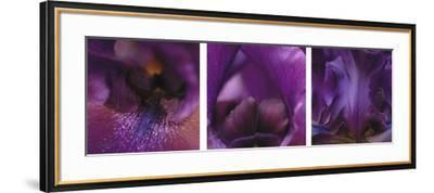 Purple Bearded Iris Triptych-Anna Miller-Framed Photographic Print
