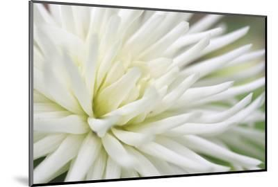 Dahlia Abstract-Anna Miller-Mounted Photographic Print