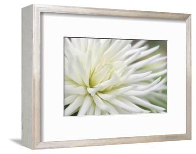 Dahlia Abstract-Anna Miller-Framed Photographic Print