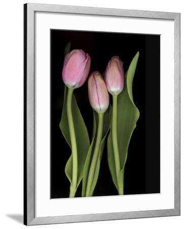Tulips on Black Background-Anna Miller-Framed Photographic Print