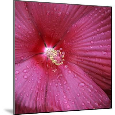 Red Hibiscus Abstract-Anna Miller-Mounted Photographic Print