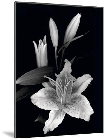 Stargazer Lily Study-Anna Miller-Mounted Photographic Print