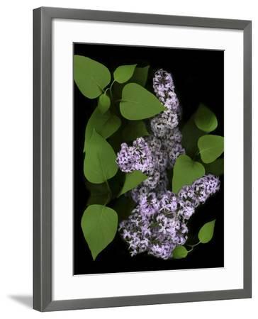 Lavender Lilac Plant-Anna Miller-Framed Photographic Print