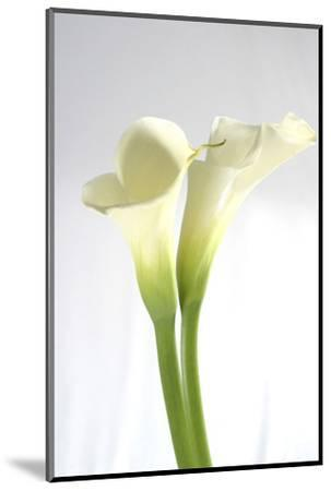 Calla Lily-Anna Miller-Mounted Photographic Print