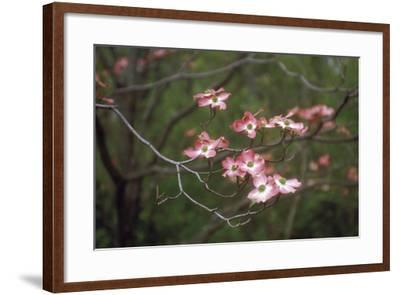 Pink Dogwood Blooms-Anna Miller-Framed Photographic Print