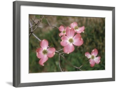 Pink Dogwood Blooms-Anna Miller-Framed Photographic Print