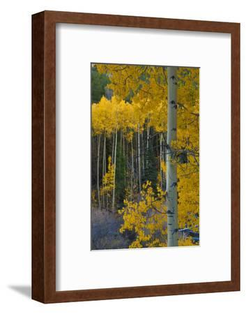 Autumn Aspens Along Cottonwood Pass, Rocky Mountains, Colorado,USA-Anna Miller-Framed Photographic Print
