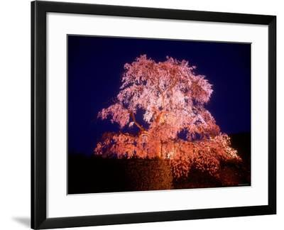 Cherry Blossoms by Night--Framed Photographic Print