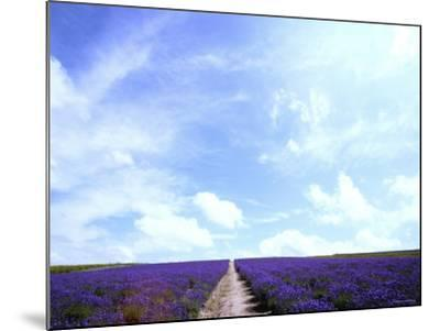 Lavender--Mounted Photographic Print