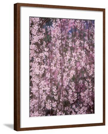 Weeping Cherry Tree--Framed Photographic Print