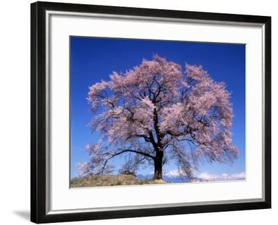 Cherry Blossoms and Mt. Yastu--Framed Photographic Print