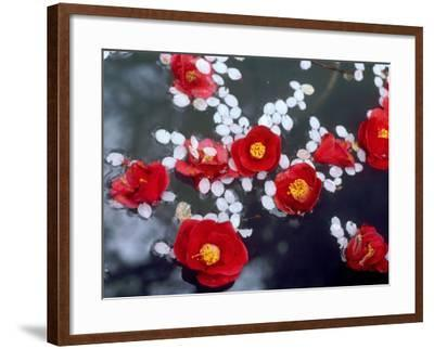 Camellias and Cherry Petals, Jingoji Temple, Kyoto, Japan--Framed Photographic Print