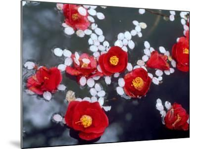 Camellias and Cherry Petals, Jingoji Temple, Kyoto, Japan--Mounted Photographic Print