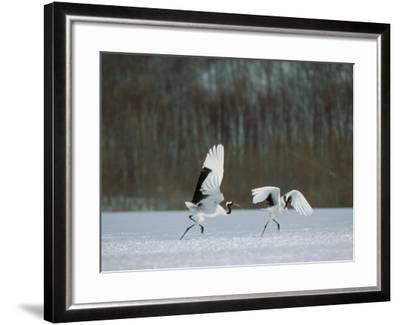 Cranes--Framed Photographic Print