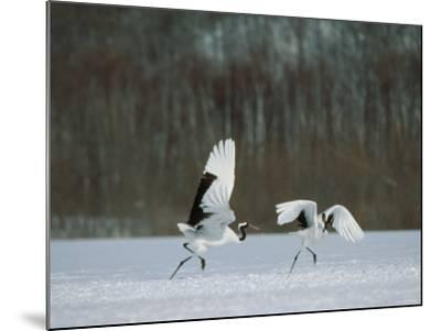 Cranes--Mounted Photographic Print