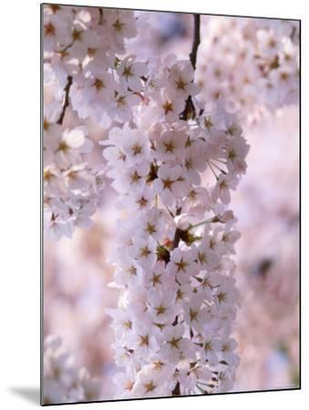 Cherry Blossoms--Mounted Photographic Print