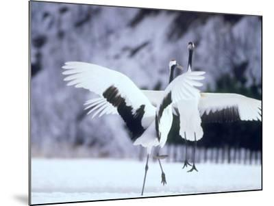 A Pair of Cranes, Hokkaido, Japan--Mounted Photographic Print