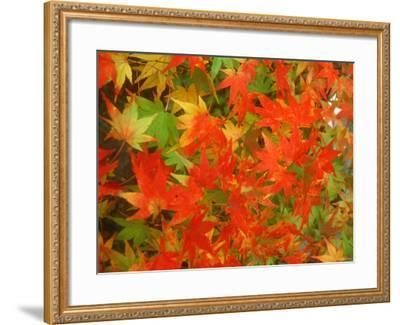 Maple Leaves--Framed Photographic Print