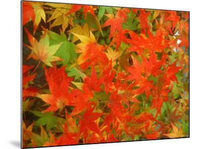 Maple Leaves--Mounted Photographic Print