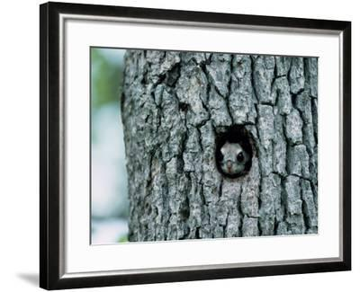 Flying Squirrel--Framed Photographic Print