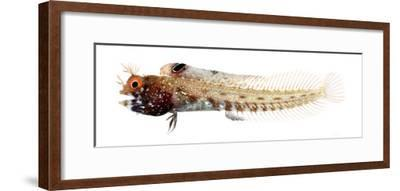 Acanthemblemaria Aspera Male--Framed Photographic Print