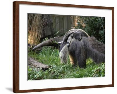 National Zoological Park: Giant Anteater--Framed Photographic Print