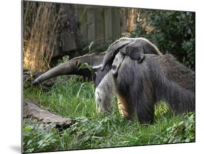 National Zoological Park: Giant Anteater--Mounted Photographic Print