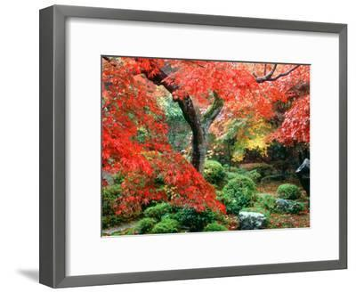 Garden with Maple Trees in Enkouin Temple, Autumn, Kyoto, Japan--Framed Photographic Print
