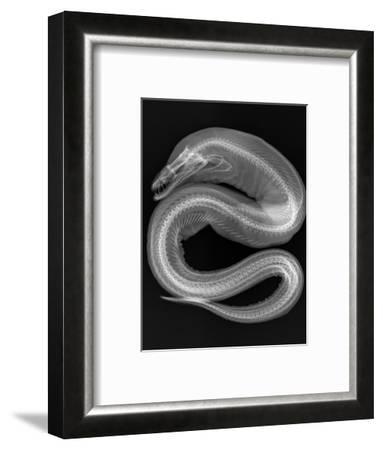 Viper Moray-Sandra J^ Raredon-Framed Photographic Print