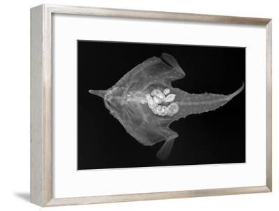 Longnose Batfish-Sandra J^ Raredon-Framed Photographic Print