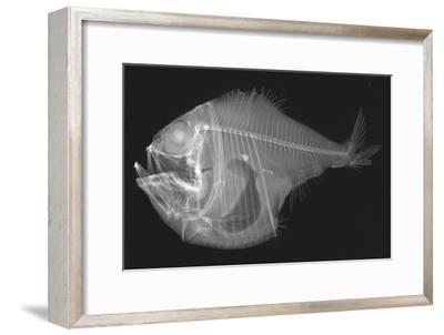 Tropical Hatchetfish-Sandra J^ Raredon-Framed Photographic Print