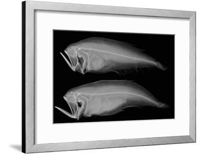 Bothid Flatfish-Sandra J^ Raredon-Framed Photographic Print
