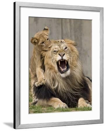 National Zoological Park: African Lion--Framed Photographic Print