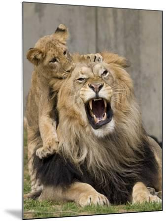 National Zoological Park: African Lion--Mounted Photographic Print