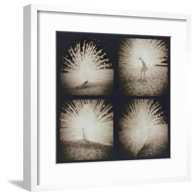 White Peacock Four times-Theo Westenberger-Framed Photographic Print
